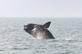 North Atlantic Right Whale, Photo: NOAA.gov