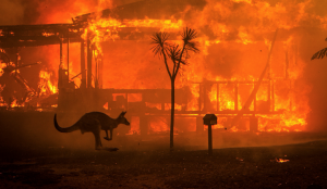 Kangaroo amidst the ongoing Australian wildfires