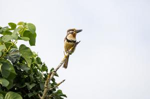 throated Puffbird_Hypnelus ruficollis
