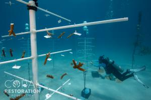 CRF™ Divers Install New Coral Genotypes in the CRF™ Genetic Bank