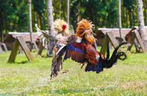 Cockfighting that runs rampant in Tennessee | Photo: Shutterstock