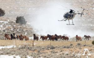 BLM Wild Horse Helicopter Roundup