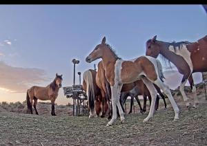 Photo of small band of wild horses with foal at WPM feeding hub.