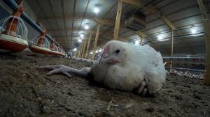Chickens suffer on Moy Park farms, supplier of McDonald's.