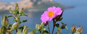 Mediterranean Cistus incanus Tea (Rock Rose) from Linden Botanicals