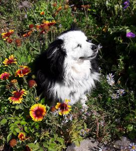 Stella, age 15, takes time to smell the flowers. Old dogs can learn new tricks and teach us lessons about life. #AdoptedASeniorDog