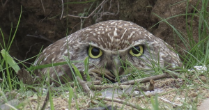 This unwise plan would wipe out wildlife, including this owl, photographed in Ballona Wetlands.
