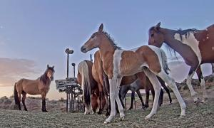 Photo of wild horses at a WPM feeding hub. This hub can replace helicopter roundups.