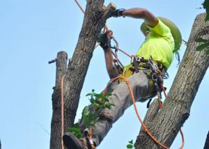 Tree Removal Arborist at Work