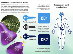 CBD, CBN and THC fit like a lock and key into existing human receptors.  These receptors are part of the endocannabinoid system which impact physiological processes affecting pain modulation, memory, and appetite plus anti-inflammatory effects and other i