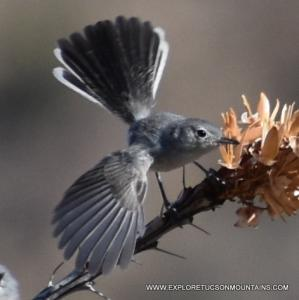 Black-tailed Gnatcatcher spreading his wings