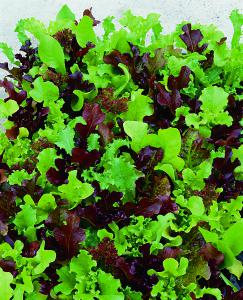 Lettuce Micro Mini Greens