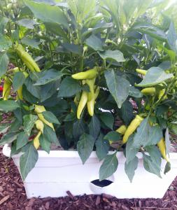 pepper plants in a GrowBox container garden