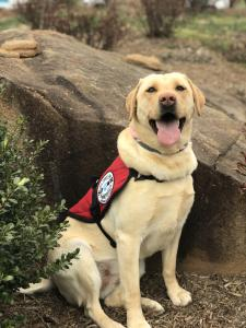 Diabetic Alert Service Dog from SDWR