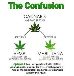 Cannabis Plant - Hemp and Marijuana Differences