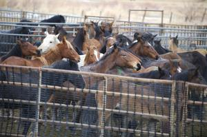 Wild horses held capitve in BLM holding facilities