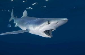 Sharks are in dire need of protection from finning