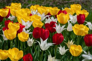 Tulip Blend Twister is an assortment of bulbs for fall planting