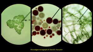 Microalgae under the microscope